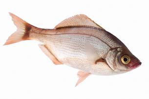 fish[Surfperch]_135の写真素材 [FYI00445666]