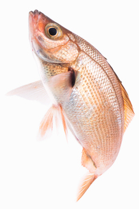 fish[Surfperch]_022の写真素材 [FYI00445667]
