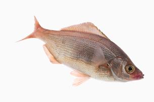 fish[Surfperch]_202の写真素材 [FYI00445670]