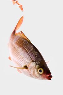 fish[Surfperch]_079の写真素材 [FYI00445675]