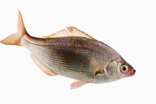 fish[Surfperch]_041の写真素材 [FYI00445677]