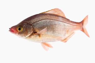 fish[Surfperch]_106の写真素材 [FYI00445689]