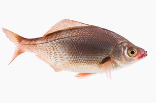 fish[Surfperch]_123の写真素材 [FYI00445690]