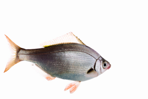 fish[Surfperch]_363の写真素材 [FYI00445694]