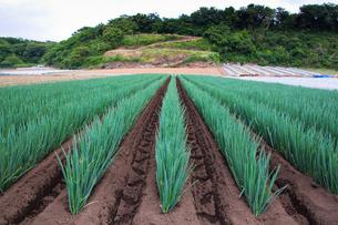 scene[long_green_onion_field]_02の写真素材 [FYI00445699]