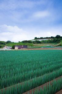 scene[long_green_onion_field]_09の写真素材 [FYI00445711]