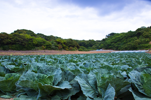 scene[cabbage_field]_01の写真素材 [FYI00445715]