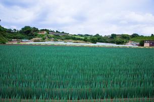 scene[long_green_onion_field]_08の写真素材 [FYI00445728]