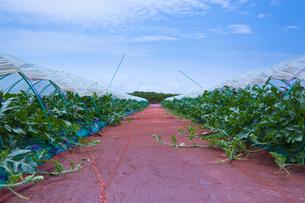 scene[watermelon_field]_04の写真素材 [FYI00445734]