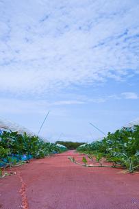 scene[watermelon_field]_05の写真素材 [FYI00445741]