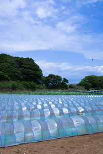 scene[watermelon_field]_09の写真素材 [FYI00445746]