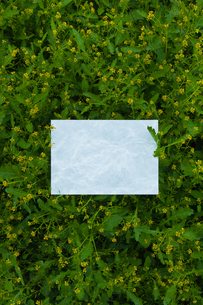 letter[chinese_yellowcress]_02の写真素材 [FYI00445772]