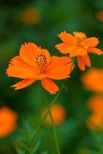 flower[orange_cosmos]_03の写真素材 [FYI00445895]