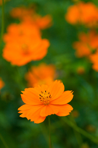 flower[orange_cosmos]_07の写真素材 [FYI00445908]