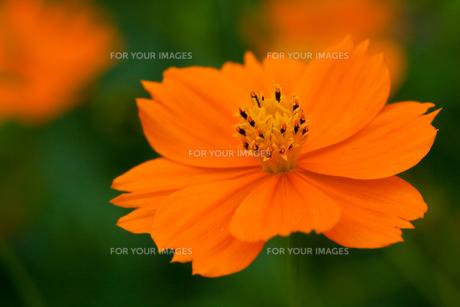 flower[orange_cosmos]_02の素材 [FYI00445909]