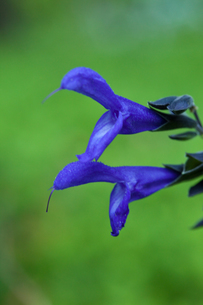 flower[salvia_guaranitica]_02の写真素材 [FYI00445910]