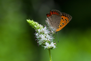 insect[lycaena_phlaeas]_01の写真素材 [FYI00445917]