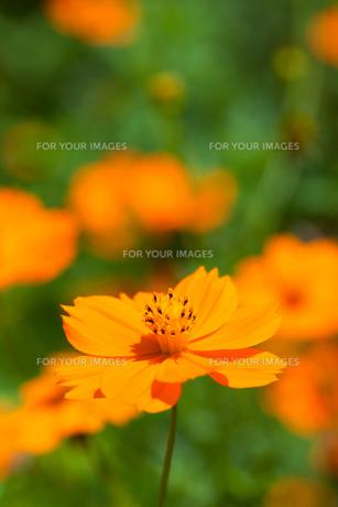 flower[orange_cosmos]_14の素材 [FYI00445922]