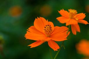 flower[orange_cosmos]_04の写真素材 [FYI00445924]