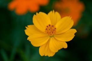 flower[orange_cosmos]_05の写真素材 [FYI00445925]