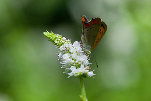 insect[lycaena_phlaeas]_02の写真素材 [FYI00445928]