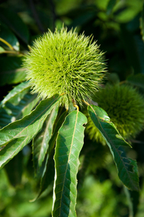 farm[chestnut_orchard]_04の写真素材 [FYI00445930]