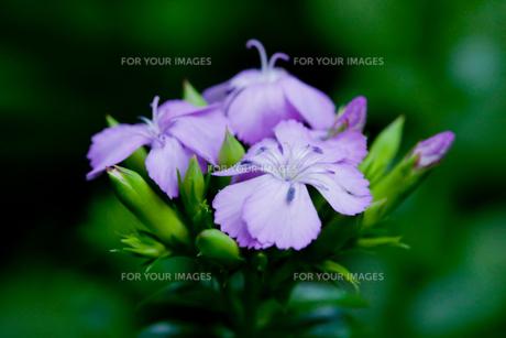 flower[sweet_william]_01の素材 [FYI00445933]