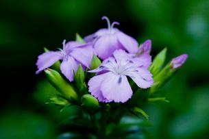 flower[sweet_william]_01の写真素材 [FYI00445933]
