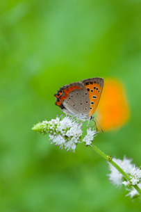 insect[lycaena_phlaeas]_09の写真素材 [FYI00445935]