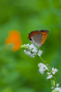 insect[lycaena_phlaeas]_08の写真素材 [FYI00445936]