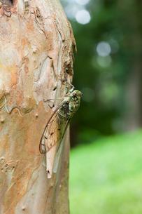 insect[oncotympana_maculaticollis]_04の写真素材 [FYI00445937]