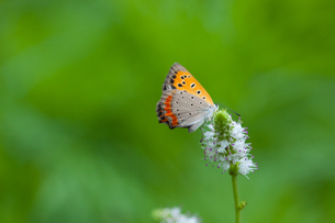 insect[lycaena_phlaeas]_05の写真素材 [FYI00445938]