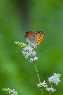 insect[lycaena_phlaeas]_07の写真素材 [FYI00445939]