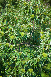 farm[chestnut_orchard]_09の写真素材 [FYI00445943]