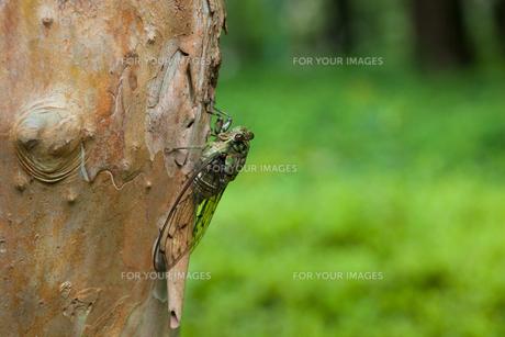 insect[oncotympana_maculaticollis]_02の素材 [FYI00445944]