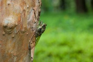 insect[oncotympana_maculaticollis]_02の写真素材 [FYI00445944]