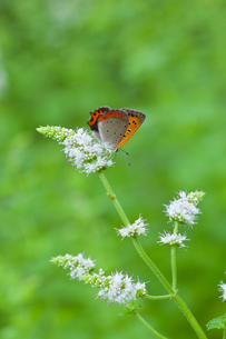 insect[lycaena_phlaeas]_10の写真素材 [FYI00445945]