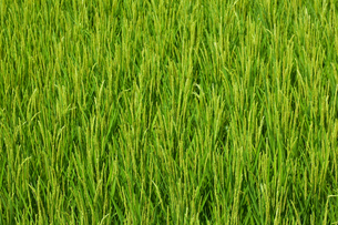 farm[paddy_field]_16の写真素材 [FYI00445946]
