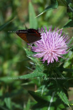 insect[lycaena_phlaeas]_13の素材 [FYI00445947]