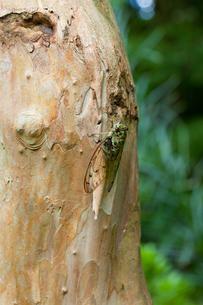 insect[oncotympana_maculaticollis]_03の写真素材 [FYI00445948]