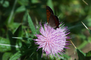insect[lycaena_phlaeas]_12の写真素材 [FYI00445949]