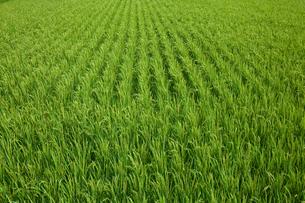 farm[paddy_field]_05の写真素材 [FYI00445950]