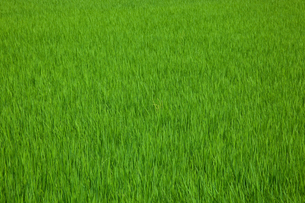 farm[paddy_field]_09の写真素材 [FYI00445951]