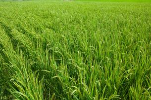 farm[paddy_field]_13の写真素材 [FYI00445952]