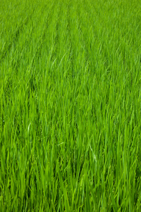 farm[paddy_field]_39の写真素材 [FYI00445954]