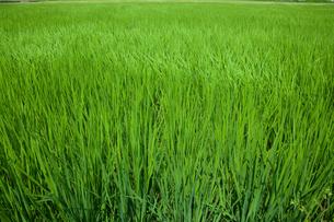farm[paddy_field]_12の写真素材 [FYI00445955]