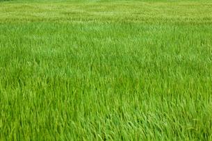 farm[paddy_field]_15の写真素材 [FYI00445958]