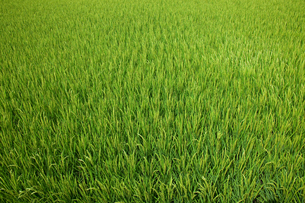 farm[paddy_field]_18の写真素材 [FYI00445960]