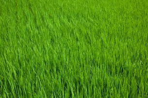 farm[paddy_field]_01の写真素材 [FYI00445963]