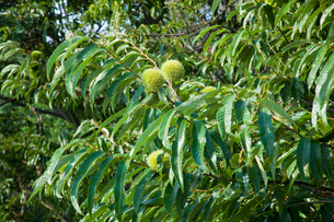 farm[chestnut_orchard]_12の写真素材 [FYI00445964]